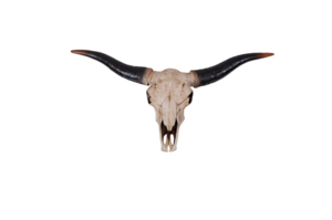 TROFE, NATURE LONGHORN BULL
